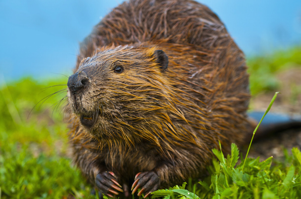 What beavers can teach us about oral care